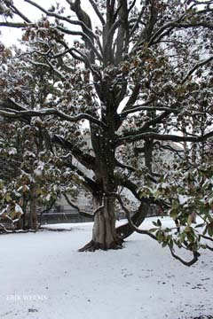 Magnolia in the Snow Richmond Capital Square Park
