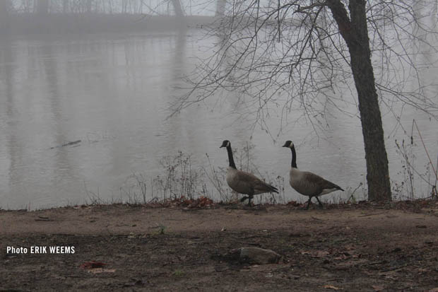 Geese Along James River
